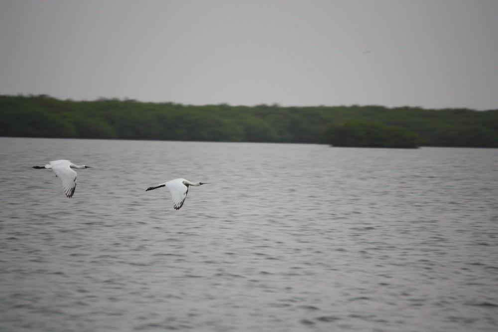 Oiseaux_Mangrove_La-Boucle-Voyageuse (3)