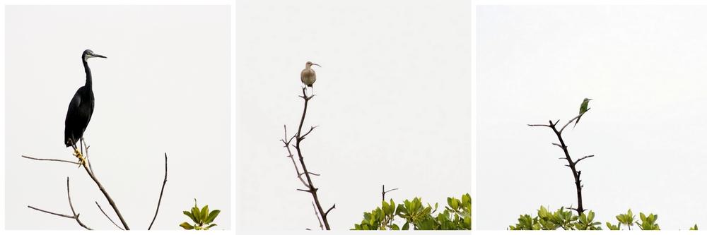Oiseaux_Mangrove_La-Boucle-Voyageuse