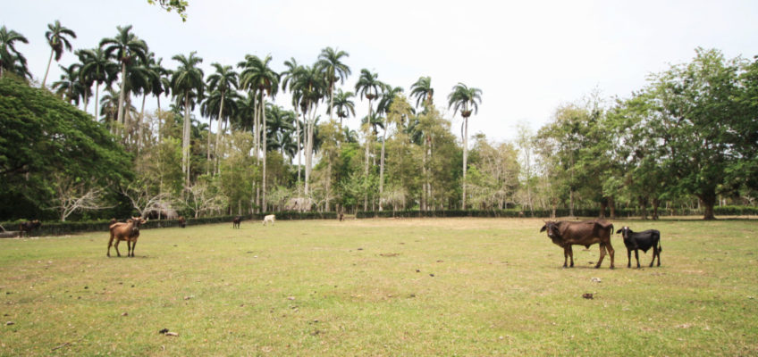 Cuba : La Picadora