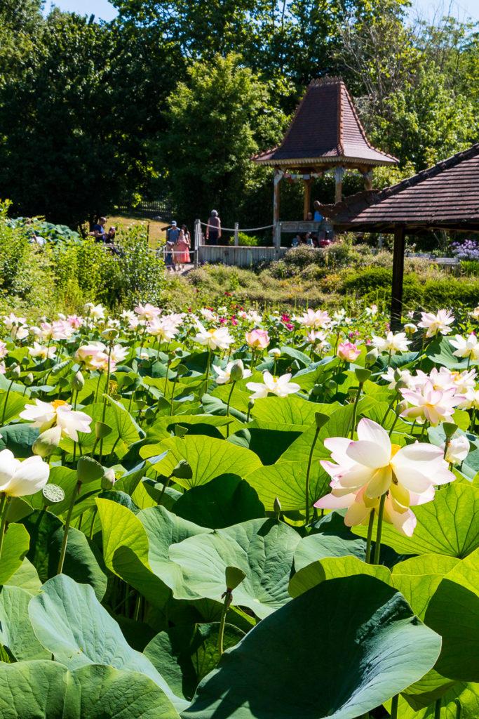 Lotus Jardins des Martels