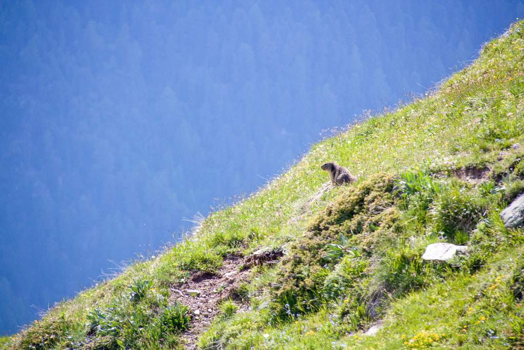 Marmotte Val d'Anniviers